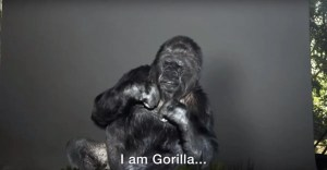 Watch as this gorilla use sign language to warn humans of their impact on the earth.