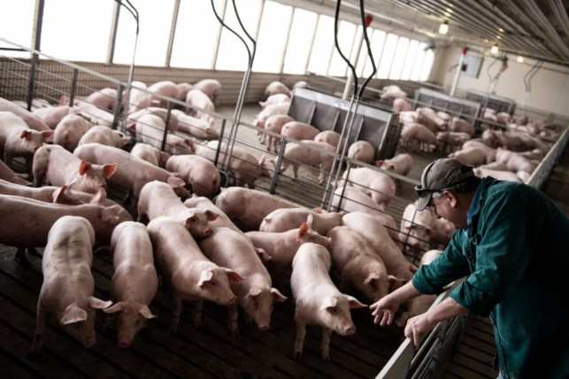 Farmers forced to kill hundreds of thousands of pigs as meat packing plants across the country close