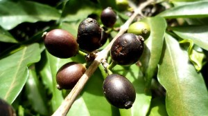 Climate Change Threatens Coffee – But We Found a Wild Species That Could Help Save Your Morning Cost