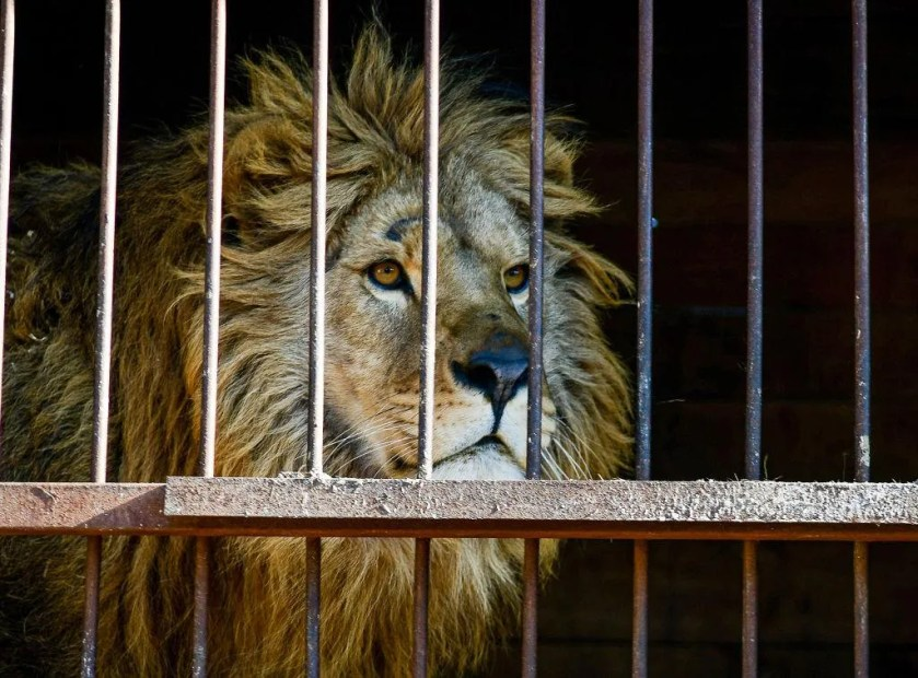 South Africa To Ban the Breeding and Hunting of Lions in Captivity