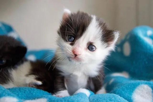 cute kitten, panda kitten
