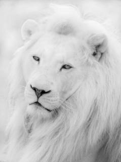 Image result for white lion
