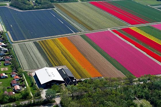 Tulips_560