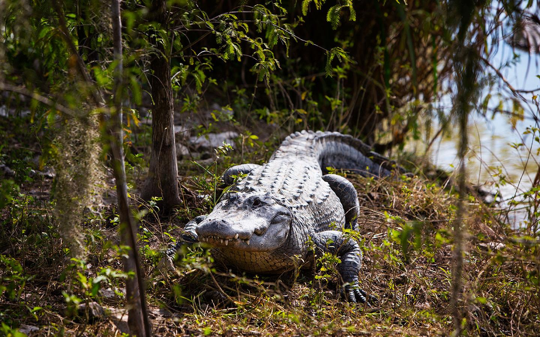 Everglades Alligator Farm In Homestead Florida City Area Fl