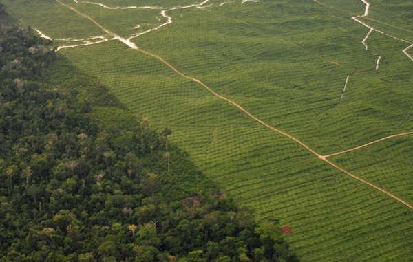 Plantation de palmiers à huile, Pérou. Les territoires ancestraux des peuples indigènes sont fréquemment utilisés pour produire des biocarburants.