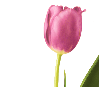 Symbolic Meaning of the Tulip   Teleflora Tulip