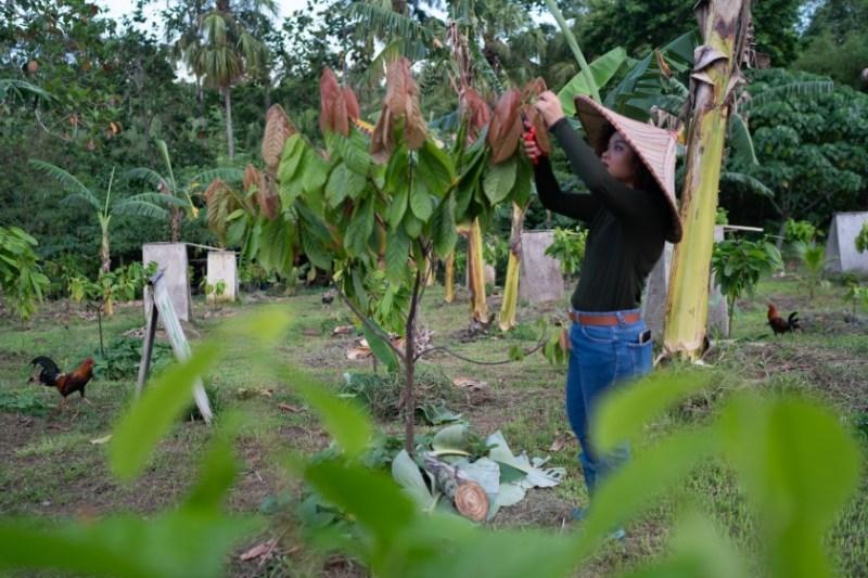 Woman harvesting cocoa