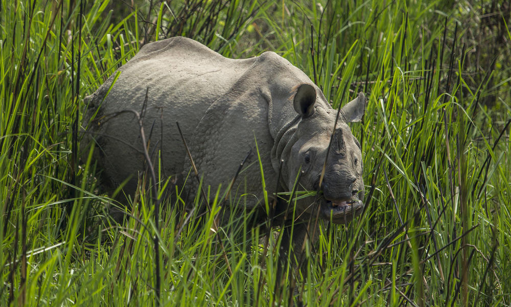 Image result for nepalese rhino