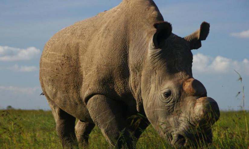 Image result for white rhino