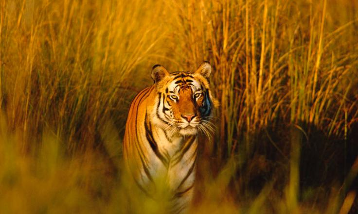 https://i2.wp.com/assets.worldwildlife.org/photos/1601/images/story_full_width/Bengal_Tiger_8.9.2012_Hero_and_Circle_XL_257678.jpg?w=736