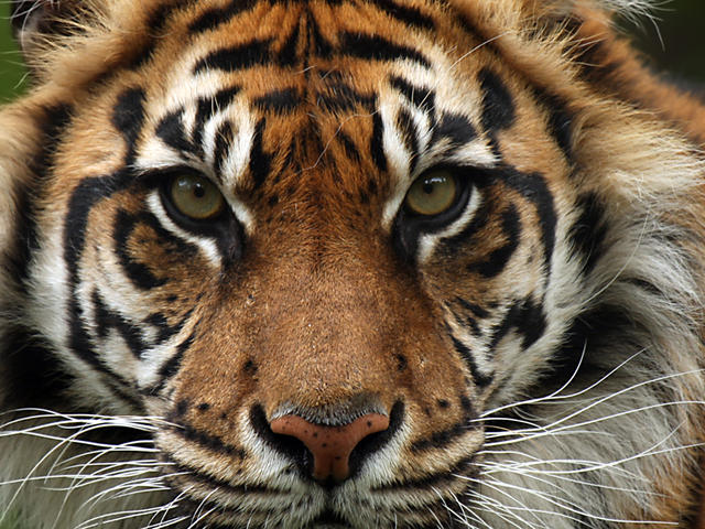 Tiger Pictures