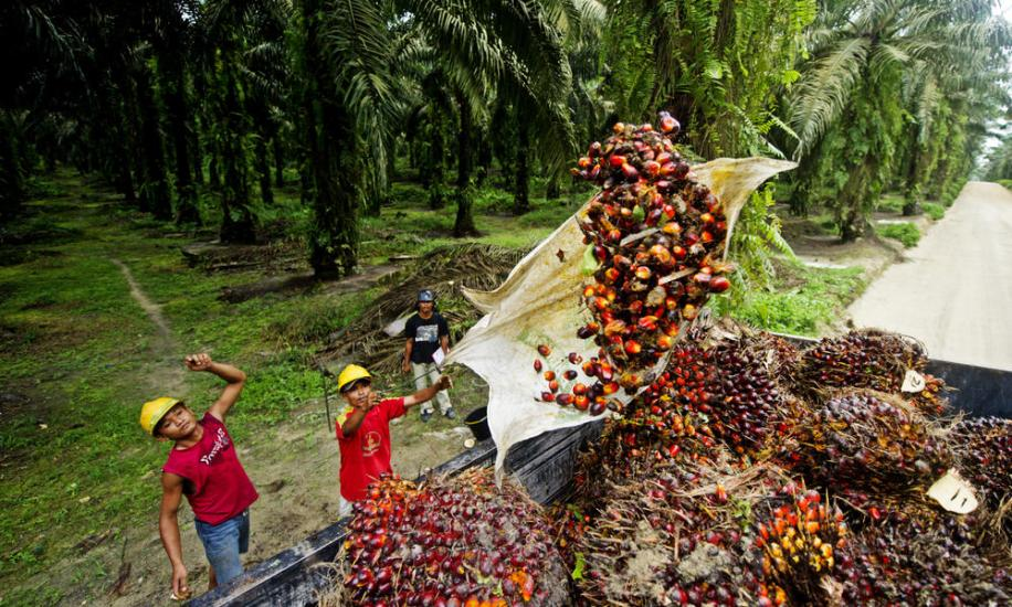 Workers throwing fruit from Oil Palm Trees into Truck