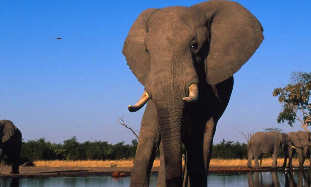 savanna elephant के लिए चित्र परिणाम