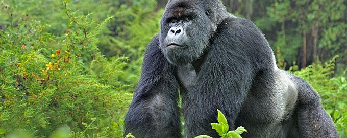 alt= mountain africa gorilla