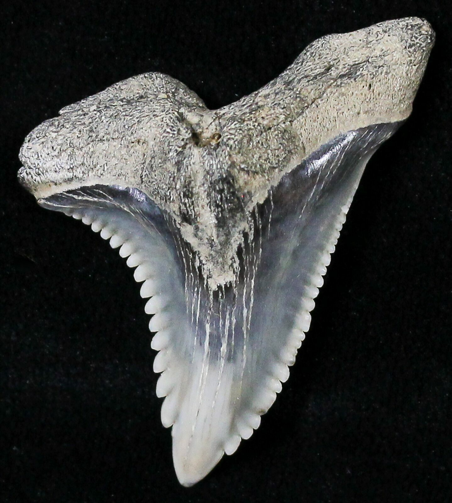 1 43 Hemipristis Shark Tooth Fossil