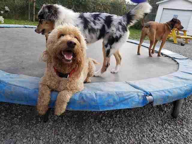 perros en trampolín