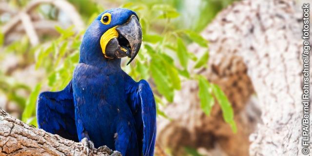 A hyacinth macaw