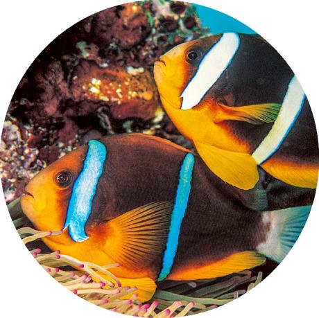 Ikan badut clarkii