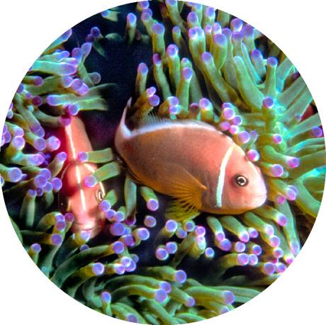 Ikan badut pink skunk
