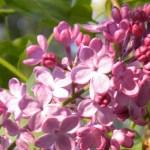 Alpenglow Lilacs #1