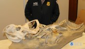 Dinosaur fossils seized by customs agents as part of a smuggling investigation. Photo courtesy of ICE.