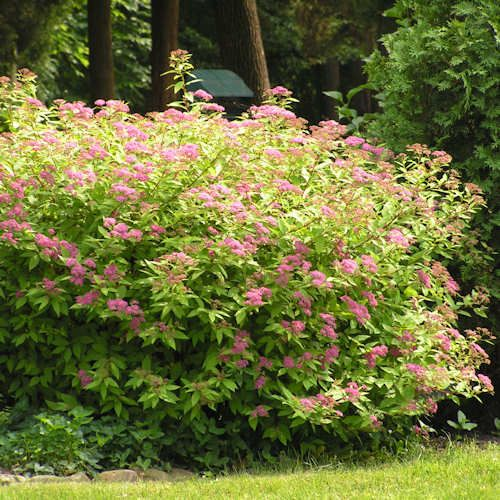 Спирея японская (Spiraea japonica L.) 'Anthony waterer'