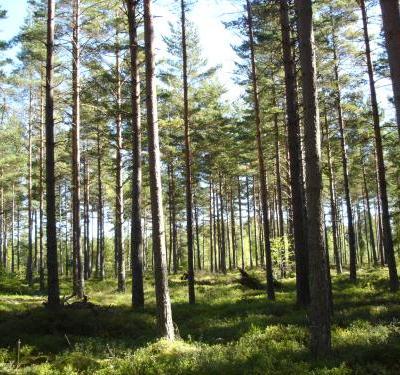 Det bidde inge skog i helgen