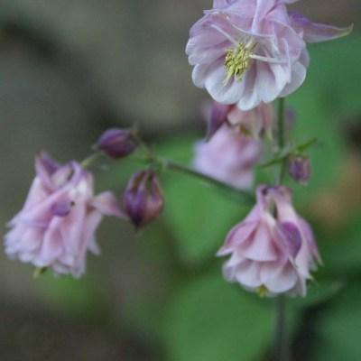 Akleja är en trevlig blomma