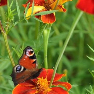Fjärilar gillar blommor