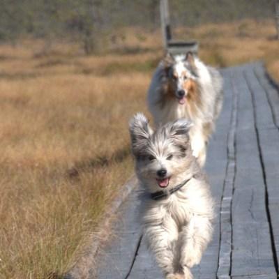 Bildbombning – hundar på promenad