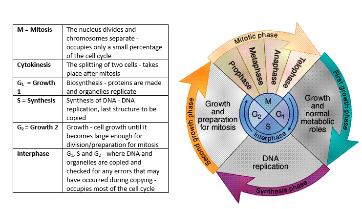 Cell division cell diversity and cellular organisation a biology cell division cell diversity and cellular organisation ccuart Choice Image
