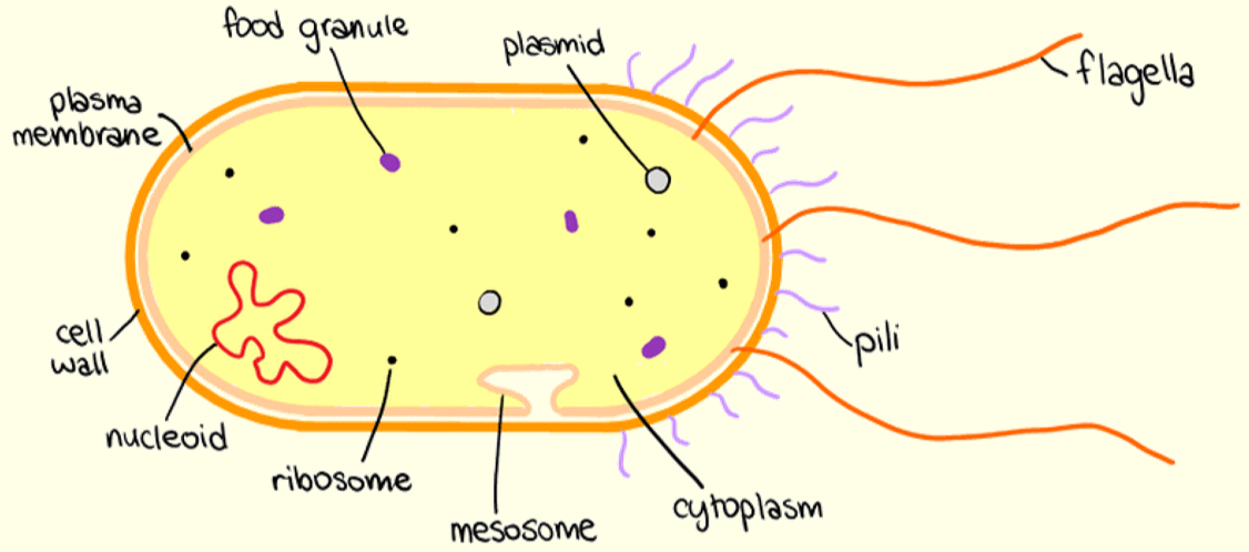 Labelled Diagram Of Prokaryotic Cell
