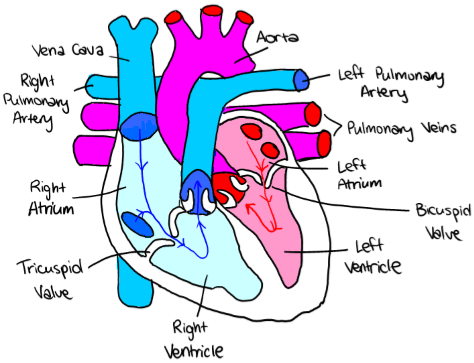 62 the transport system a biology coronary arteries are blood vessels that provide oxygen rich blood and other nutrients to the heart ccuart