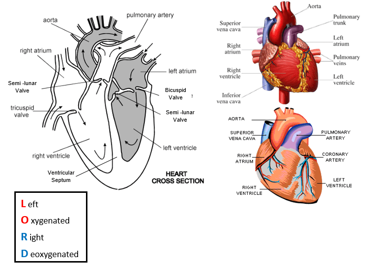 Transport in animals a biology e explain with the aid of diagrams the differences in the thickness of the walls of the different chambers of the heart in terms of their functions ccuart Images
