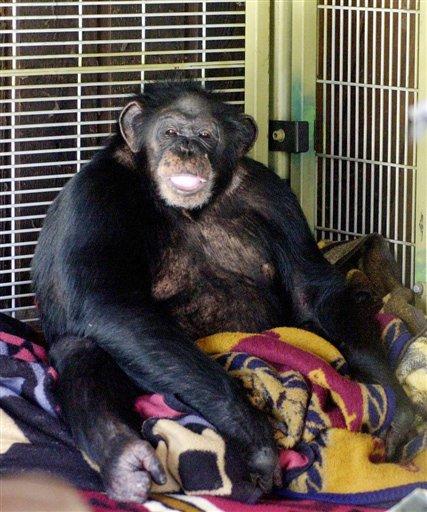 Tragedy Of Travis The Chimp Incipit Vita Nova