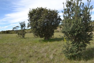 Tree-form Banksia marginata on the plains