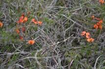 Dillwynia species