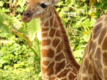 Singapore Zoo SG50 giraffe calf