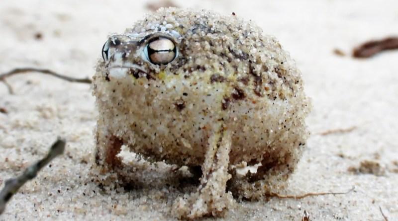 The Fearsome Roar of the Desert Rain Frog