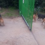 Four Barking Dogs And A Gate…