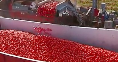 This Tomato Color Sorting Machine Is Really Satisfying To Watch