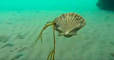 This Is How Scallops Swim