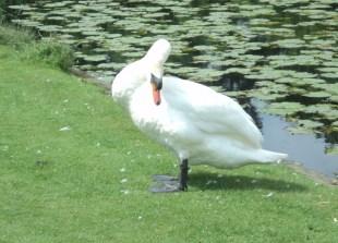 Male Swan