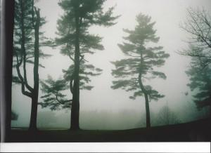 Aston Magna Austrian Pines