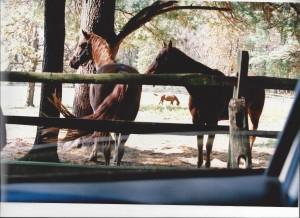 Horses at Aston Magna