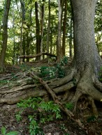 Sturdy old roots