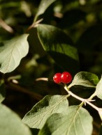 You mustn't eat any red berries you might find.