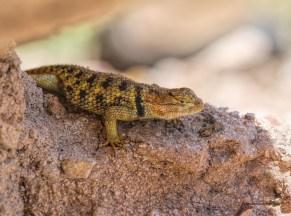 Yellow Lizard