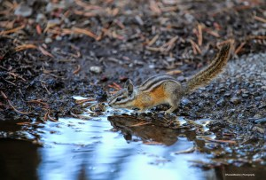 Chipmunk having a drink