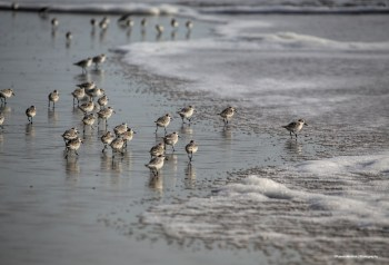 Sanderlings or wave runners